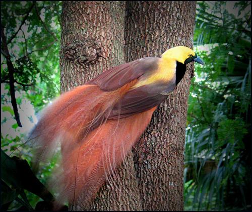 Chim Thiên Đường đẹp rực rỡ xứ Ghi-nê 25041112