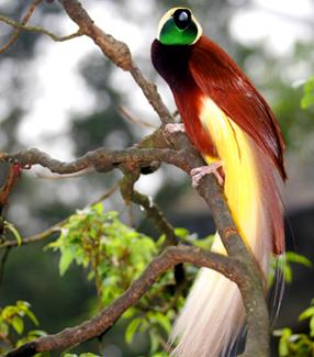 Chim Thiên Đường đẹp rực rỡ xứ Ghi-nê 25041113
