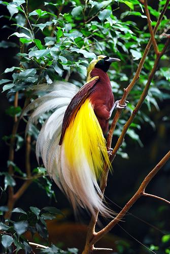 Chim Thiên Đường đẹp rực rỡ xứ Ghi-nê 25041114