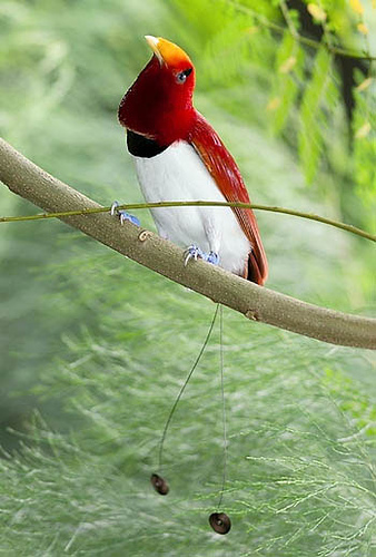 Chim Thiên Đường đẹp rực rỡ xứ Ghi-nê 25041115