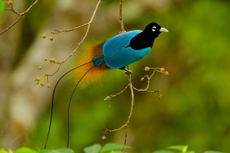 Chim Thiên Đường đẹp rực rỡ xứ Ghi-nê 25041117