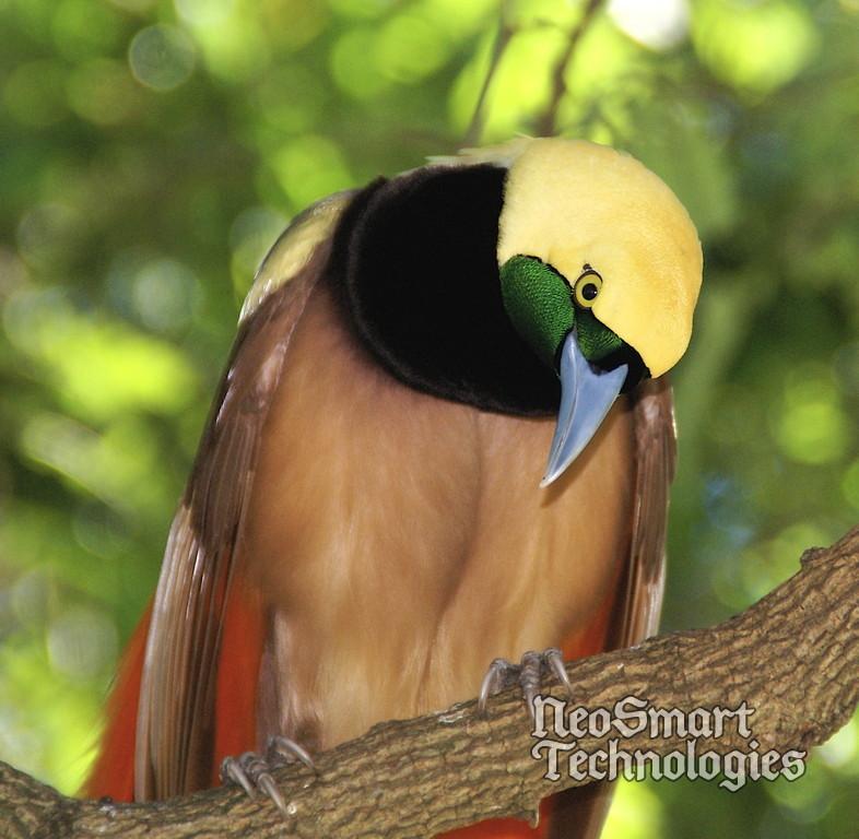 Chim Thiên Đường đẹp rực rỡ xứ Ghi-nê 25041118