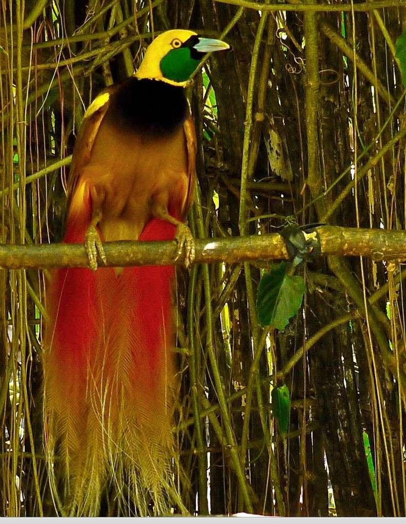 Chim Thiên Đường đẹp rực rỡ xứ Ghi-nê 25041119