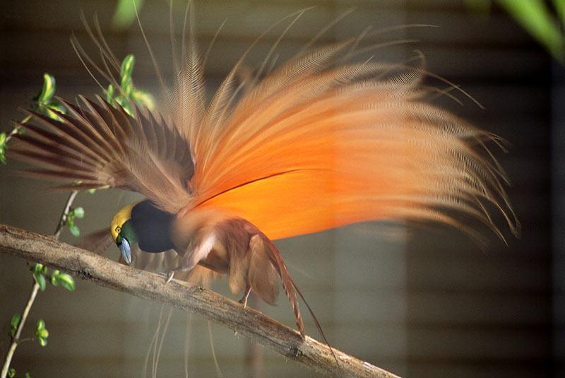 Chim Thiên Đường đẹp rực rỡ xứ Ghi-nê 25041120