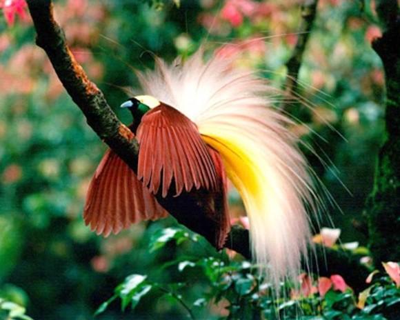 Chim Thiên Đường đẹp rực rỡ xứ Ghi-nê 25041121