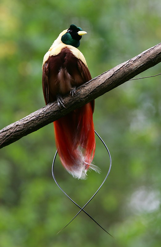 Chim Thiên Đường đẹp rực rỡ xứ Ghi-nê 25041122