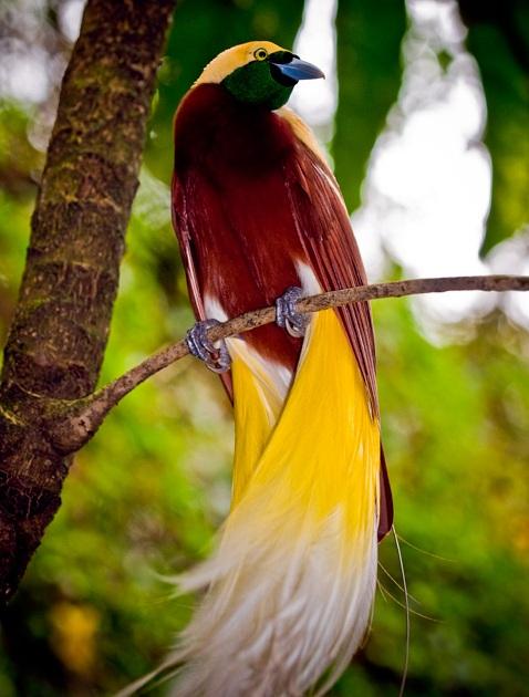 Chim Thiên Đường đẹp rực rỡ xứ Ghi-nê 25041123