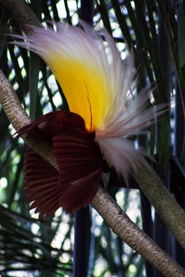 Chim Thiên Đường đẹp rực rỡ xứ Ghi-nê 25041124