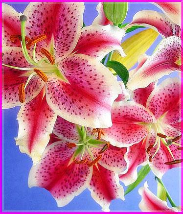 Ý nghĩa của các loài hoa Oanhnt15