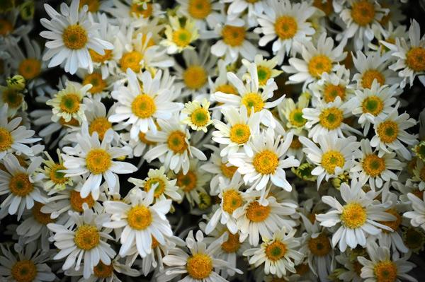 Mùa hoa cúc họa mi về trên phố Sam_5413