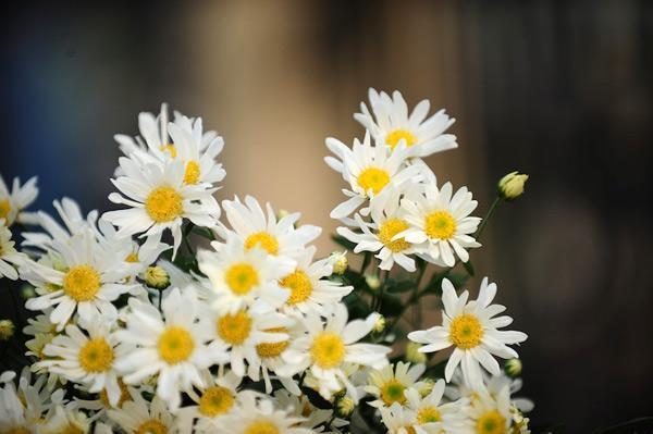 Mùa hoa cúc họa mi về trên phố Sam_5611