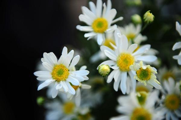 Mùa hoa cúc họa mi về trên phố Sam_9111
