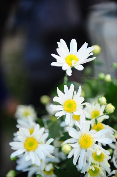 Mùa hoa cúc họa mi về trên phố Sam_9112