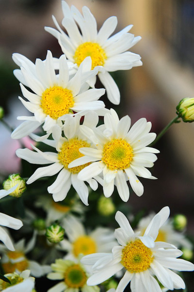 Mùa hoa cúc họa mi về trên phố Sam_9113