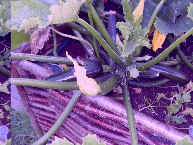 légumes du jardin Sdc11411