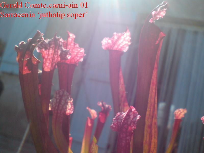 sarracenia juthatip soper Dsc01527