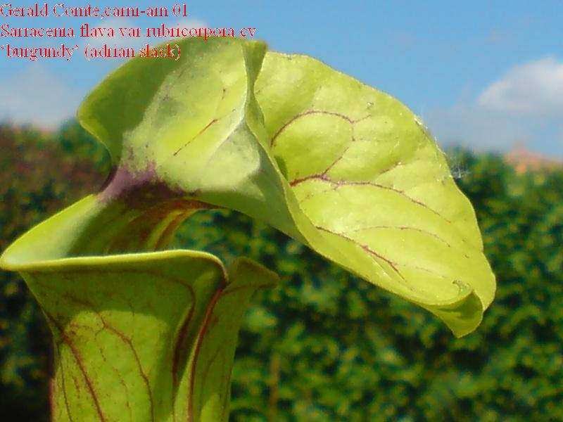 sarracenia flava var.rubricorpora cv 'burgundy' Flava_11