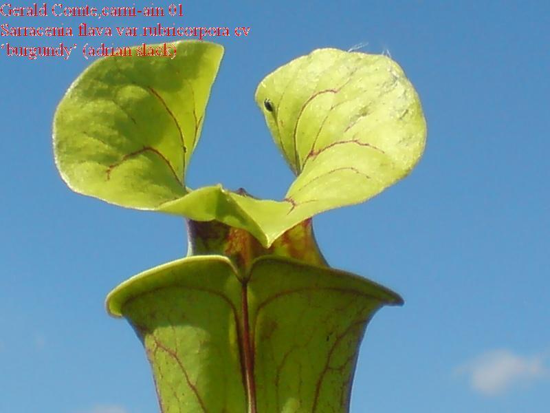 sarracenia flava var.rubricorpora cv 'burgundy' Flava_12