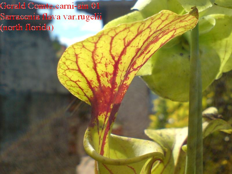 sarracenia var.rugelii (north florida) Flava_16