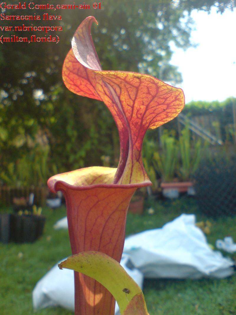 sarracenia flava var.rubricorpora (milton,florida) Flava_25