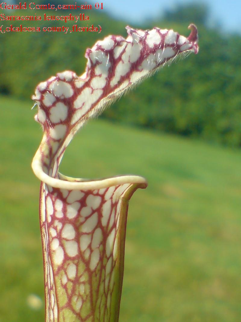leucophylla Okaloo11