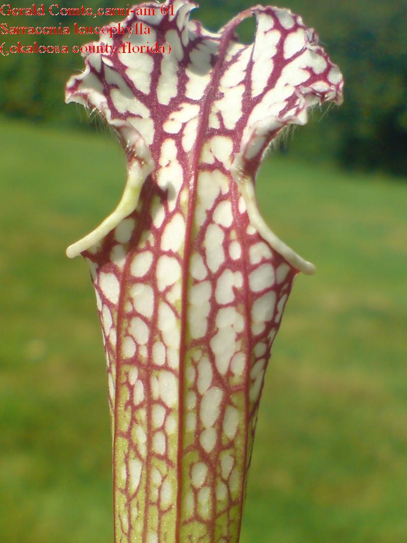 leucophylla Okaloo12
