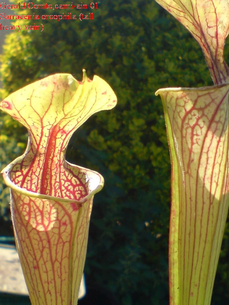 sarracenia oreophila (tall heavy vein) Oreoph10