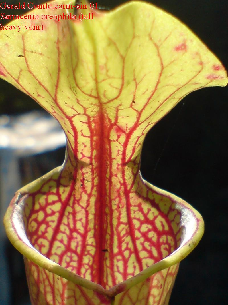 sarracenia oreophila (tall heavy vein) Oreoph11