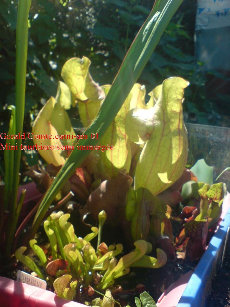purpurea en bac immergé (pour lampro) Purpu_11