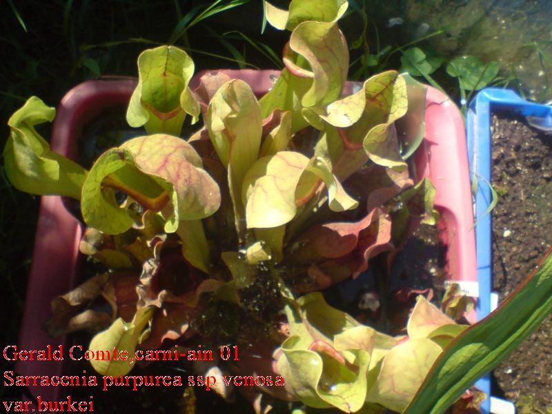 purpurea en bac immergé (pour lampro) Purpu_12
