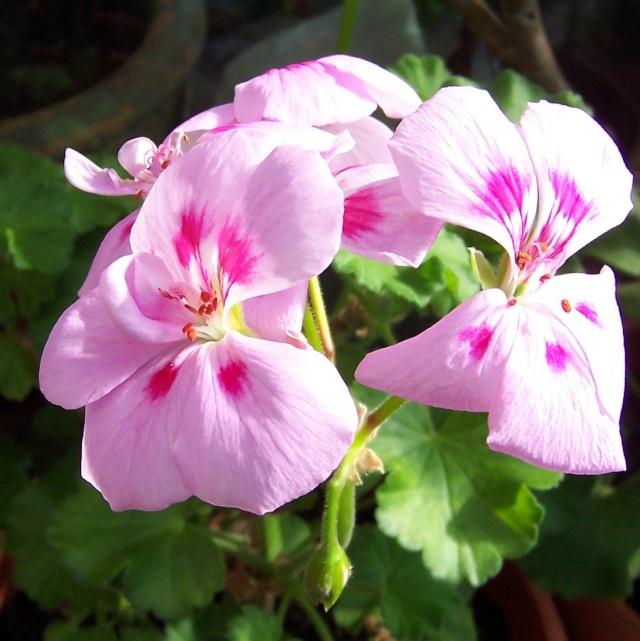 Pelargonium 100_8711