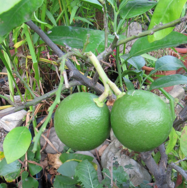 Citrus paradisi - Grapefruit Img_2411