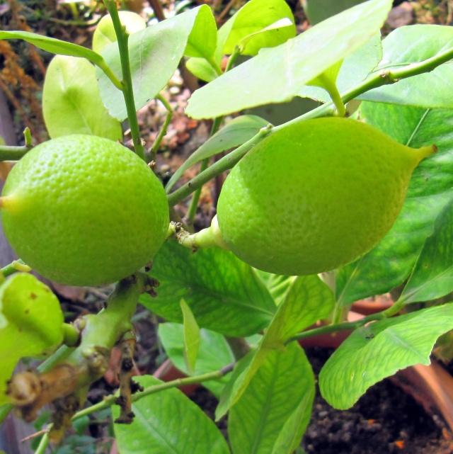 Lamaiul - Citrus lemon - Pagina 2 Img_2712