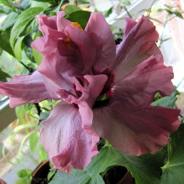 Seminte hibiscus, germinare, cultivare Img_2810