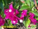 Bougainvillea - Floarea de hartie 100_3410