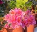 Bougainvillea - Floarea de hartie 100_6111