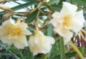 Nerium oleander Nerium10