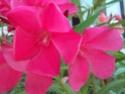 Nerium oleander Nerium11