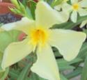 Nerium oleander Nerium12