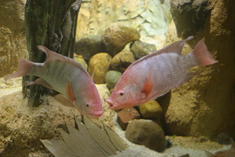 Oreochromis niloticus Oreoch11