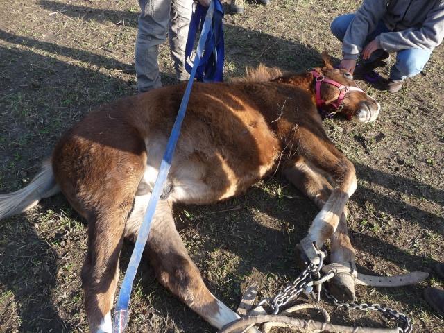 castration de Flocon, 6 mois 1/2 Nov_2041