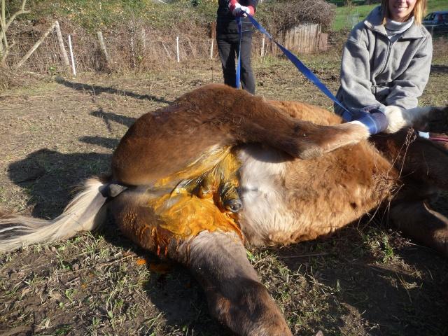 castration de Flocon, 6 mois 1/2 Nov_2043