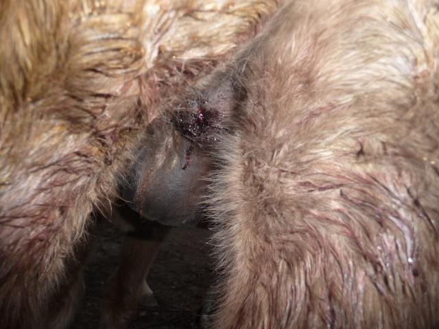 castration de Flocon, 6 mois 1/2 Nov_2061