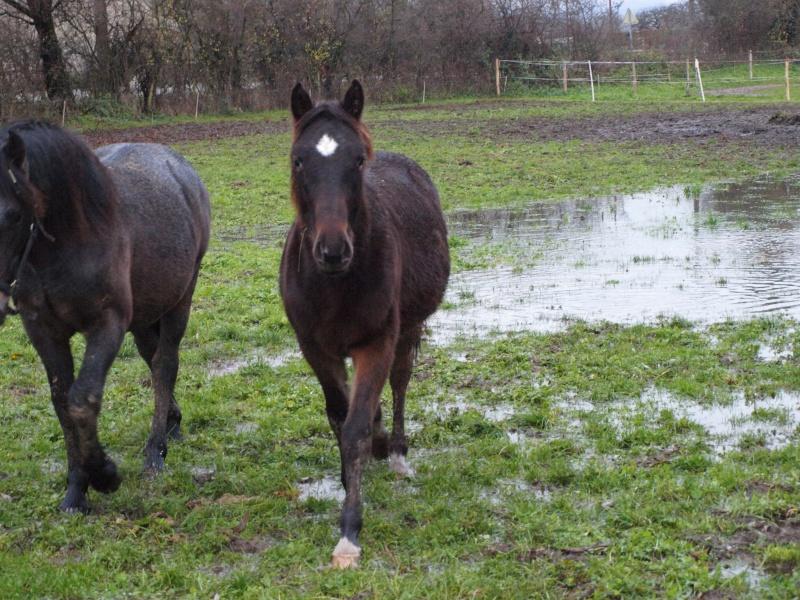 poulain quater horse Pc053711