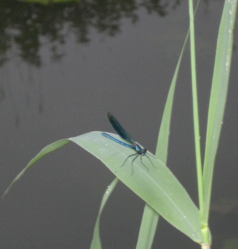 libellules et qualité de l'eau Img_1821