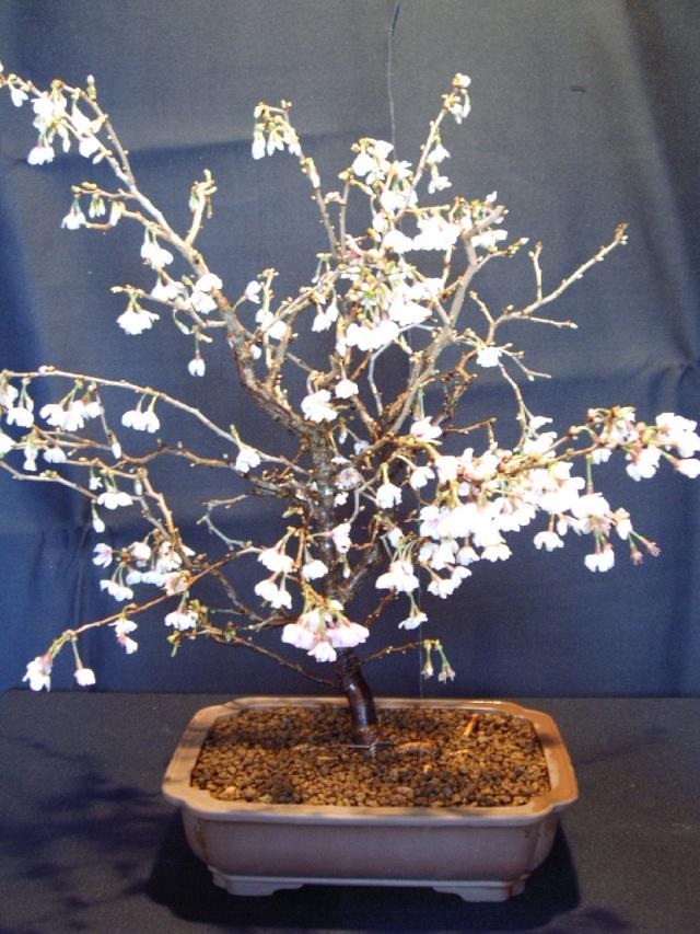 Premier rempotage 2008 Bonsai11