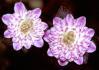 Hepatica nobilis var .japonica Hepati10