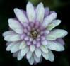 Hepatica nobilis var .japonica Hepati11