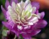 Hepatica nobilis var .japonica Hepati12