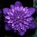 Hepatica nobilis var .japonica Hepati14